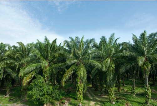 пальмовая плантация